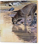 Cougar Stops For A Drink Wood Print