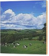 County Tipperary, Ireland, Dairy Cattle Wood Print
