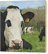 Cow Facing Camera Wood Print