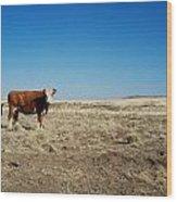 Cows At Sp Crater Wood Print