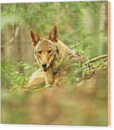 Coyote Caught Napping Wood Print