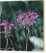 Coyote Mint Wood Print