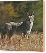 Coyote On A Fall Meadow Wood Print