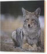 Coyote Resting In Winter Grass, Snowing Wood Print