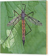 Crane Fly Wood Print