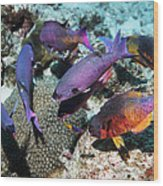 Creole Wrasse At A Cleaning Station Wood Print