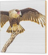 Crested Caracara Taking Off Wood Print