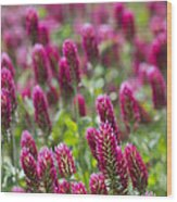 Crimson Clover In All Its Glory Wood Print