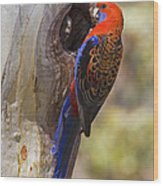 Crimson Rosella Wood Print