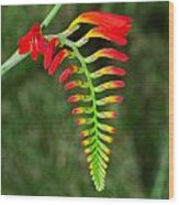 Crocosmia - Lucifer Plant Wood Print