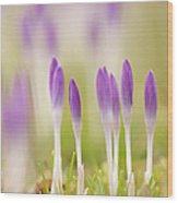 Crocus Flowers (crocus Tommasinianus) Wood Print