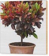 Croton Tree In Flowerpot Wood Print