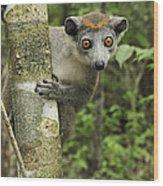 Crowned Lemur Eulemur Coronatus Female Wood Print