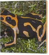 Crowned Poison Frog Wood Print