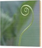 Cucumber Curly Tendril  Wood Print