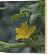 Cucumber Flower Wood Print