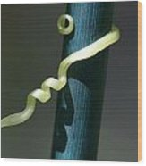 Cucumber Tendril Curling Around A Support Stake Wood Print
