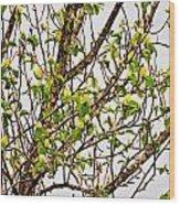Cucumber Tree Blossoms Wood Print