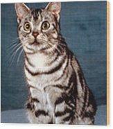 Curious American Shorthair Wood Print