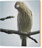 Curious House Finch Wood Print