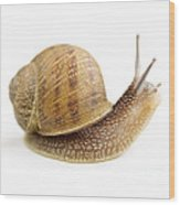Curious Snail Wood Print