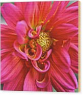 Curly Dahlia Wood Print
