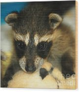 Cute Face Behind The Mask Baby Raccoon Wood Print