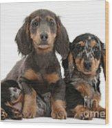 Dachshund And Merle Dachshund Pups Wood Print