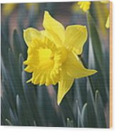 Daffodil Delight Wood Print