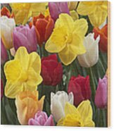 Daffodil Narcissus Sp Lucky Number Wood Print