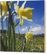 Daffodils In Cezallier. Auvergne. France. Europe Wood Print