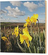 Daffs On Dartmoor Wood Print