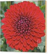 Dahlia 4001 Wood Print