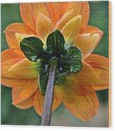 Dahlia 9001 Rearview Wood Print