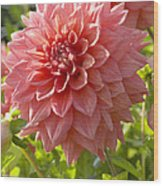 Dahlia Dahlia Sp Beverly Fly Variety Wood Print