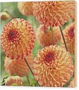 Dahlia Dahlia Sp Mirella Variety Flowers Wood Print