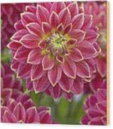 Dahlia Dahlia Sp Optimist Variety Wood Print