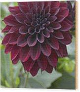 Dahlia Dahlia Sp Ronaldo Variety Flower Wood Print