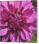 Dahlia Describes The Color Pink 1 Wood Print