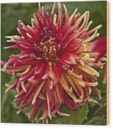 Dahlia In Its Prime Wood Print