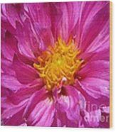 Dahlia Named Pink Bells Wood Print
