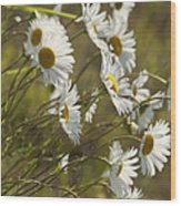 Daisies Blowin In The Wind Wood Print