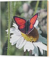 Daisy And Butterfly Wood Print