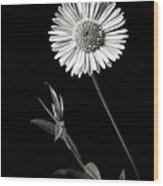 Daisy In Black And White Wood Print
