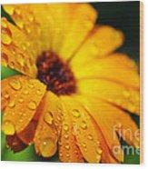Daisy In The Rain Wood Print