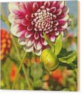 Dalhia In Bloom  Wood Print