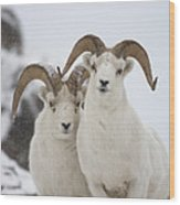 Dall Sheep Ovis Dalli Rams, Yukon Wood Print