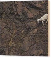 Dall Sheep Were Is Very Adapt Wood Print