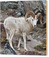 Dall's Sheep Wood Print