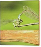 Damselflies Wood Print